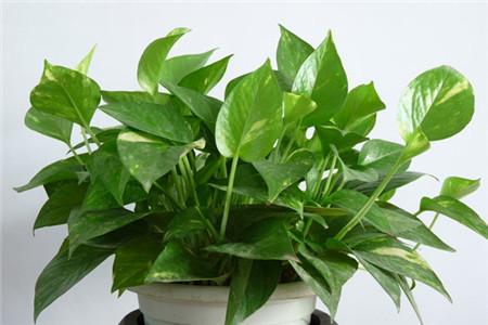 绿萝 办公室适合放哪些绿化植物? 行业资讯 第2张