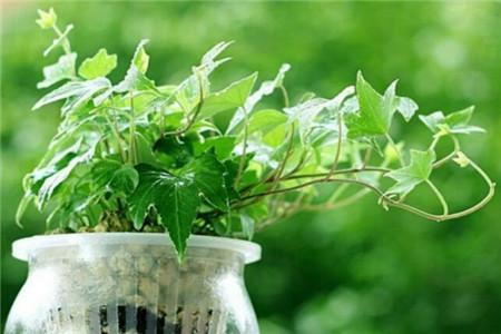 常春藤 办公室适合放哪些绿化植物? 行业资讯 第4张