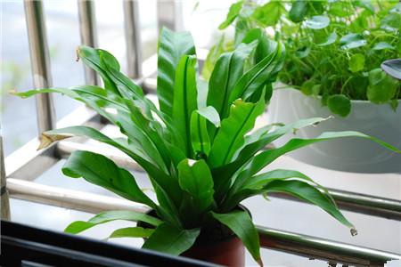 鸟巢蕨 办公室适合放哪些绿化植物? 行业资讯 第7张