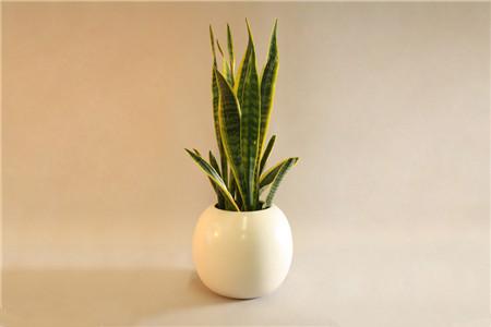 虎皮兰 办公室适合放哪些绿化植物? 行业资讯 第5张