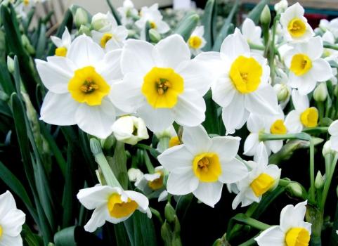 水仙花的养殖方法、养植要求和注意事项 行业资讯 第1张