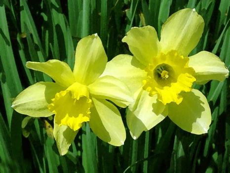 水仙花的养殖方法、养植要求和注意事项 行业资讯 第2张