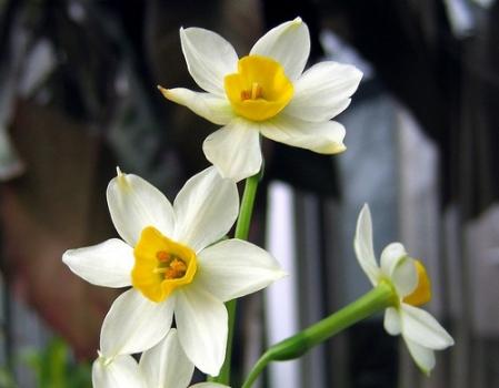 水仙花的养殖方法、养植要求和注意事项 行业资讯 第3张