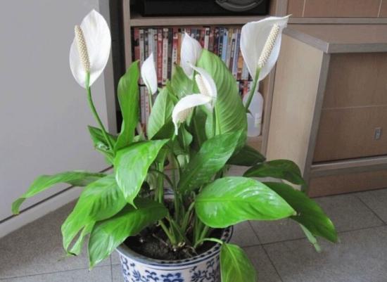 室内盆栽:白掌的养殖方法和注意事项 行业资讯 第1张