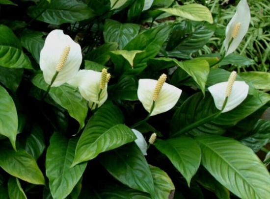 室内盆栽:白掌的养殖方法和注意事项 行业资讯 第2张