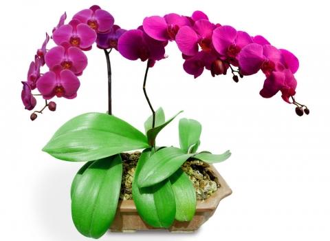 蝴蝶兰的养殖方法和养护注意事项 行业资讯 第1张