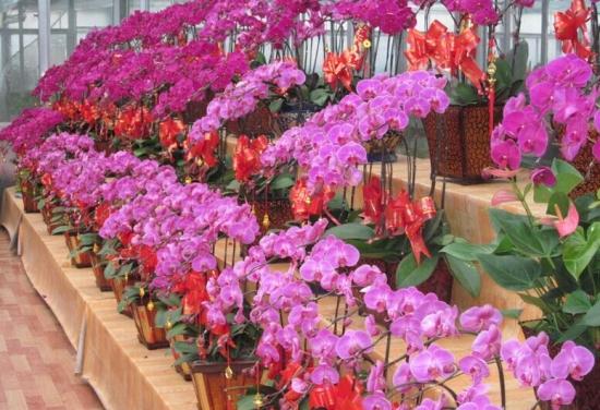 蝴蝶兰的养殖方法和养护注意事项 行业资讯 第3张