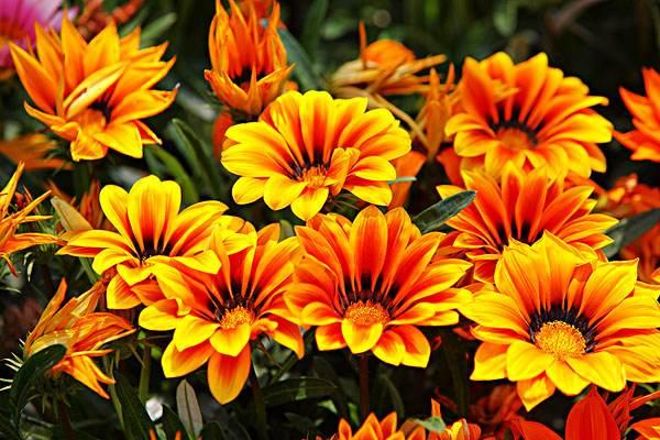 盆栽植物-勋章菊的养护栽培知识 行业资讯