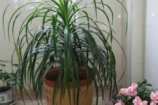 龙须兰的种植养护方法介绍 行业资讯