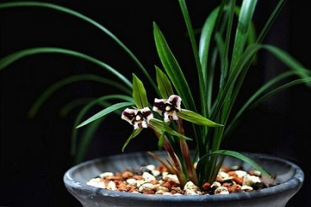 春兰的盆栽种植方法和养护注意事项 行业资讯
