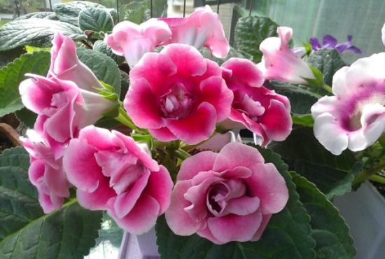夏季不能浇水的七种常见花卉介绍 行业资讯 第2张