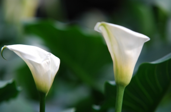 夏季不能浇水的七种常见花卉介绍 行业资讯 第7张