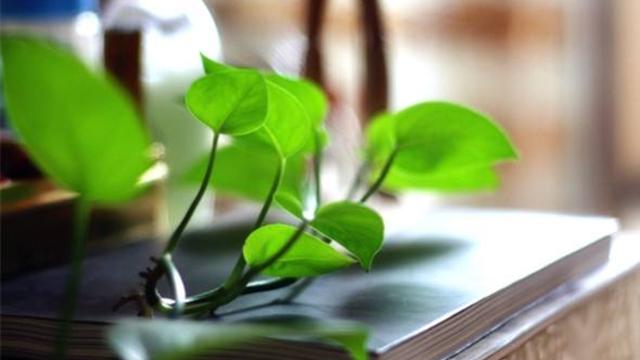 绿萝怎么养 绿萝的养殖方法介绍 行业资讯