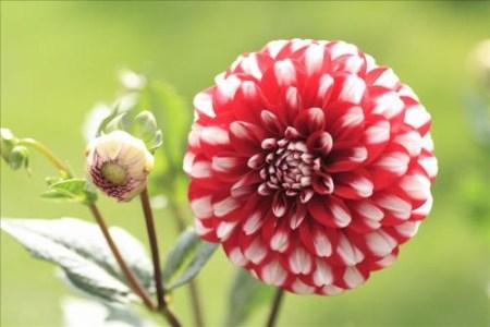 介绍四种花朵较大的植物,颜色鲜艳赛杜鹃 行业资讯 第1张