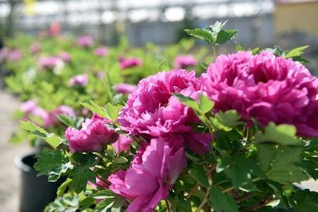 介绍四种花朵较大的植物,颜色鲜艳赛杜鹃 行业资讯 第2张