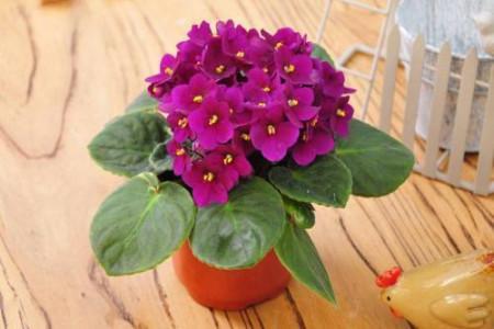 介绍四种花朵较大的植物,颜色鲜艳赛杜鹃 行业资讯 第4张