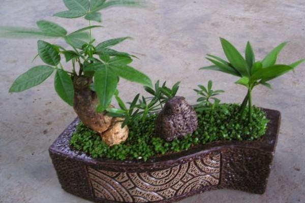 砍头的发财树怎样长高 发财树的种植方法:砍头后怎样长高 行业资讯 第2张