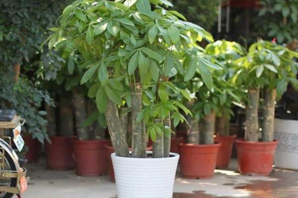 砍头的发财树怎样长高 发财树的种植方法:砍头后怎样长高 行业资讯 第3张