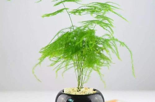 夏天文竹的养护方法 行业资讯